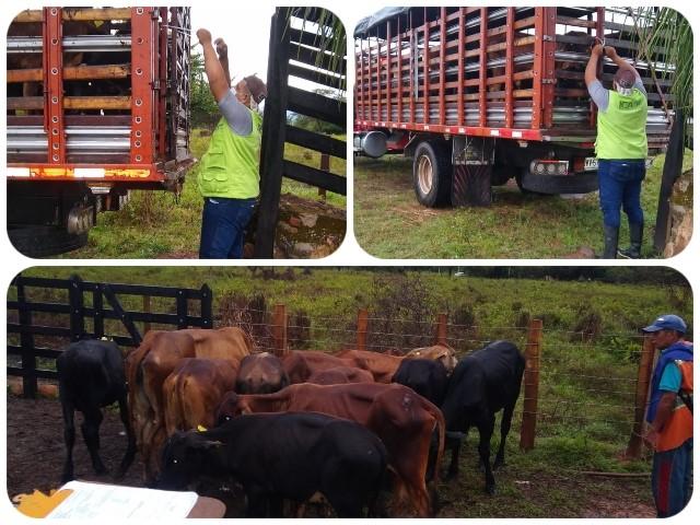 Predios exportadores de ganado en el Cesar son supervisados por el ICA